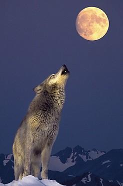 17.02_huilende Wolf